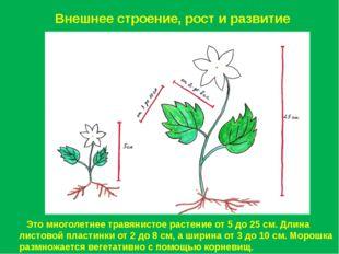 Внешнее строение, рост и развитие Это многолетнее травянистое растение от 5 д