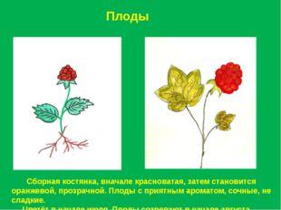 Плоды Сборная костянка, вначале красноватая, затем становится оранжевой, проз