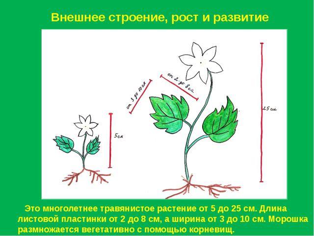 Внешнее строение, рост и развитие Это многолетнее травянистое растение от 5 д...