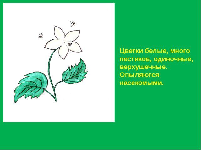 Цветки белые, много пестиков, одиночные, верхушечные. Опыляются насекомыми.