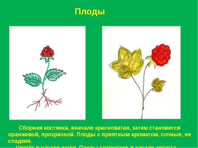 Плоды Сборная костянка, вначале красноватая, затем становится оранжевой, проз...