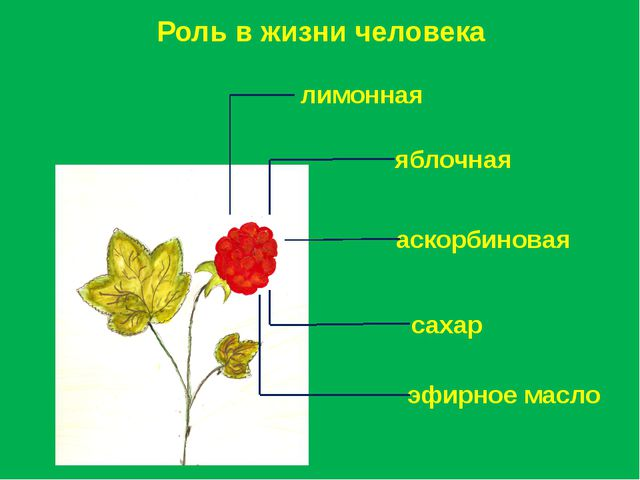 Роль в жизни человека лимонная яблочная аскорбиновая эфирное масло сахар