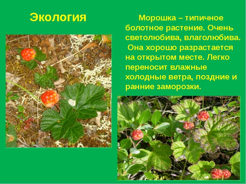 Экология Морошка – типичное болотное растение. Очень светолюбива, влаголюбива...