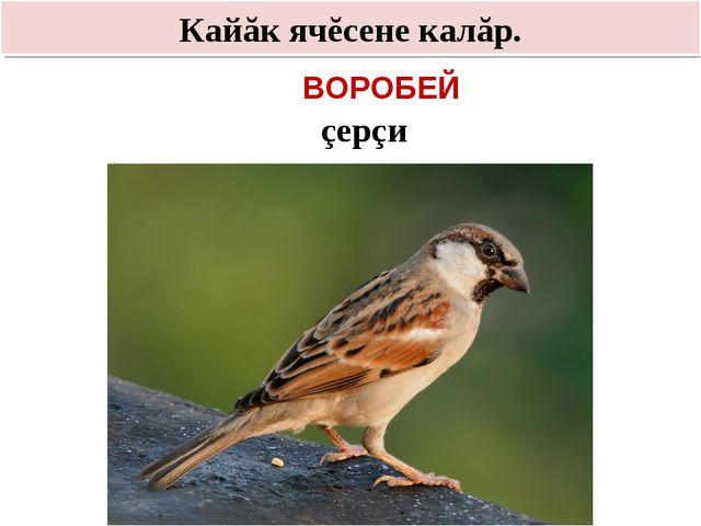 Кайăк ячĕсене калăр. çерçи ВОРОБЕЙ