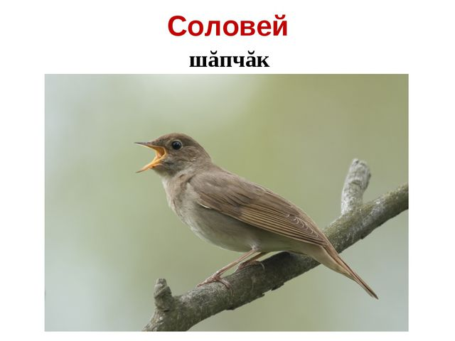 Соловей шăпчăк