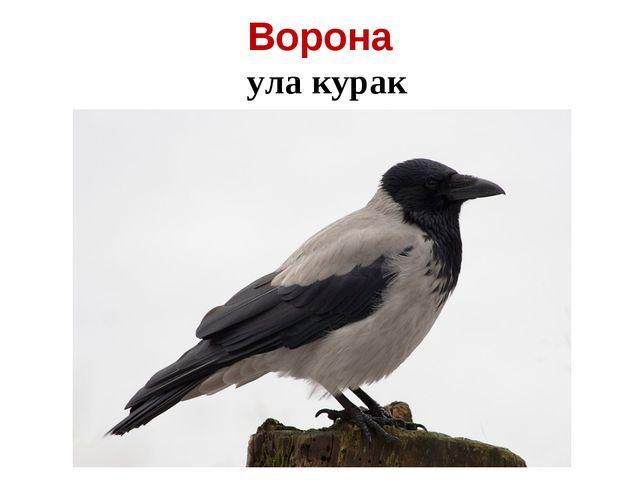Ворона ула курак