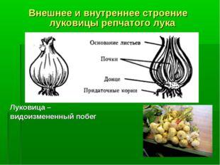 Внешнее и внутреннее строение луковицы репчатого лука Луковица – видоизмененн