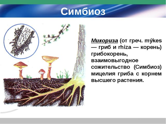 Симбиоз Микориза (от греч. mýkes — гриб и rhiza — корень) грибокорень, взаимо...