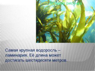 Самая крупная водоросль – ламинария. Её длина может достигать шестидесяти ме