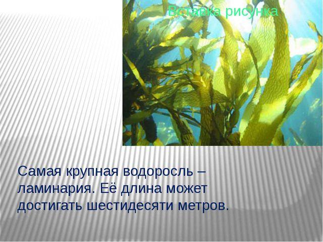 Самая крупная водоросль – ламинария. Её длина может достигать шестидесяти ме...