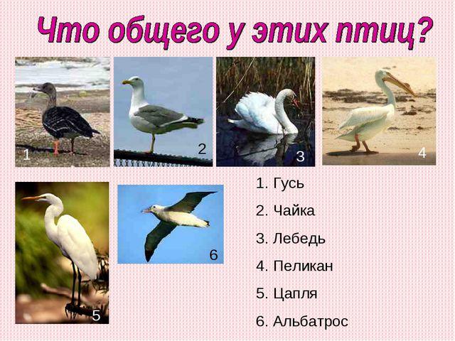 Гусь Чайка Лебедь Пеликан Цапля Альбатрос 1 2 3 4 5 6