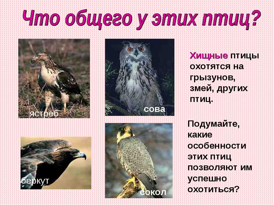 ястреб беркут сокол сова Подумайте, какие особенности этих птиц позволяют им...