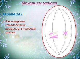 Механизм мейоза АНАФАЗА I Расхождение гомологичных хромосом к полюсам клетки