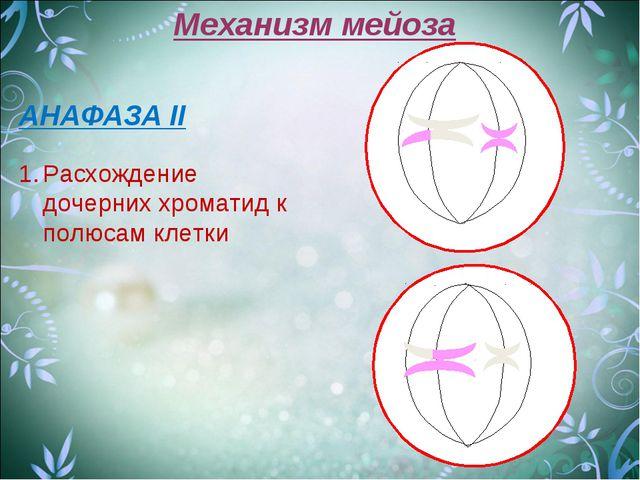 Механизм мейоза АНАФАЗА II Расхождение дочерних хроматид к полюсам клетки