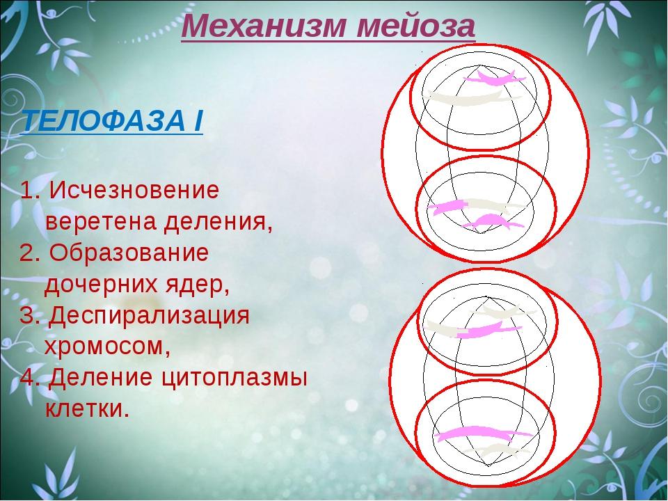 Механизм мейоза ТЕЛОФАЗА I 1. Исчезновение веретена деления, 2. Образование д...