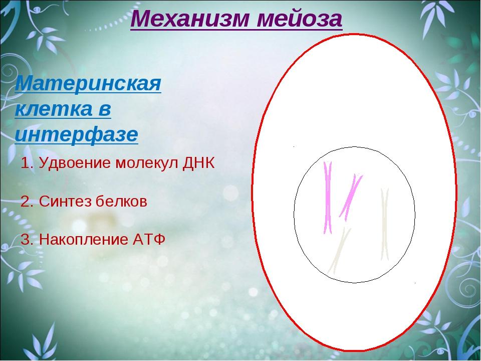 Материнская клетка в интерфазе Механизм мейоза 1. Удвоение молекул ДНК 2. Син...