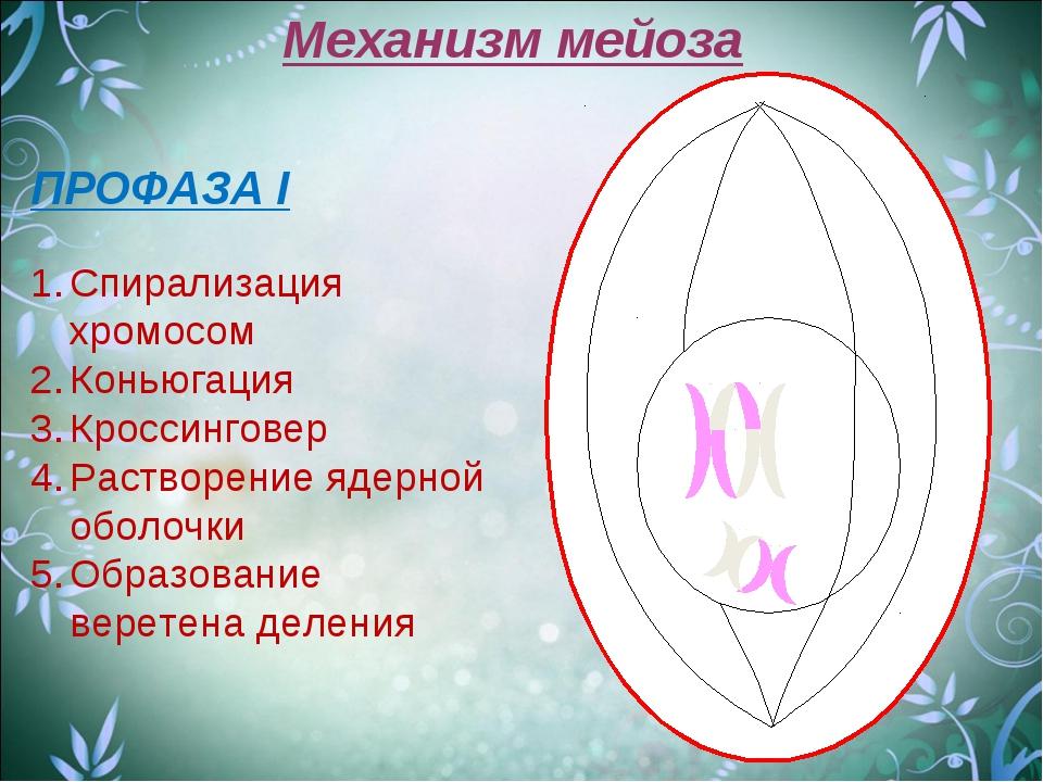 Механизм мейоза ПРОФАЗА I Спирализация хромосом Коньюгация Кроссинговер Раств...