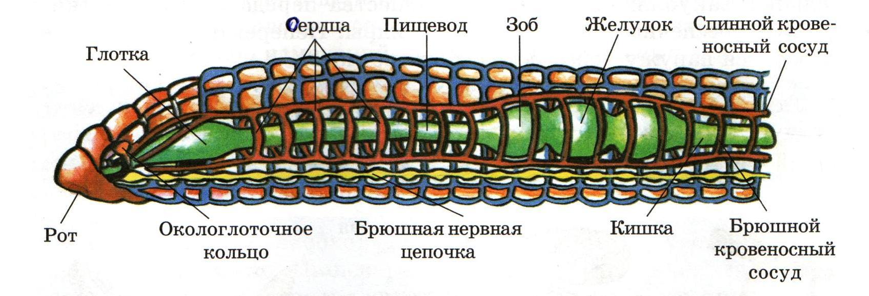Дождевой червь 001