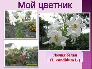 Лилия белая (L. candidum L.)