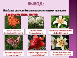 Наиболее зимостойкими и неприхотливыми являются азиатские виды лилий: Лилия т