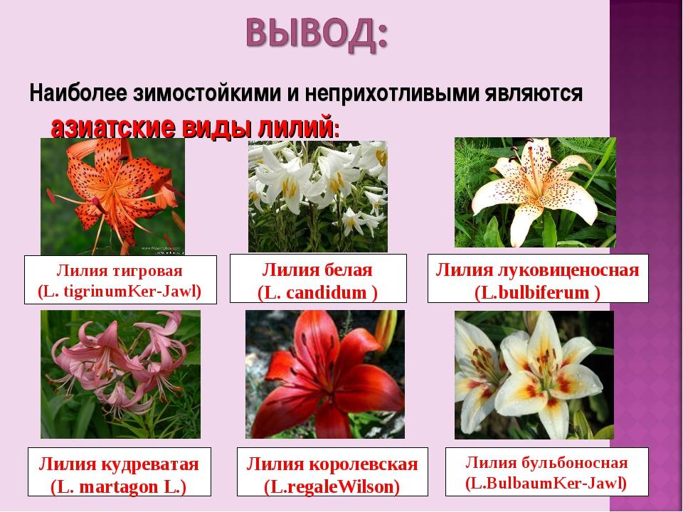 Наиболее зимостойкими и неприхотливыми являются азиатские виды лилий: Лилия т...