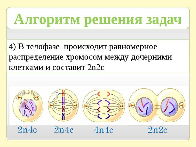 4) В телофазе происходит равномерное распределение хромосом между дочерними к...