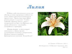 Лилия Издавна люди поклонялись лилии как одному из самых прекрасных созданий