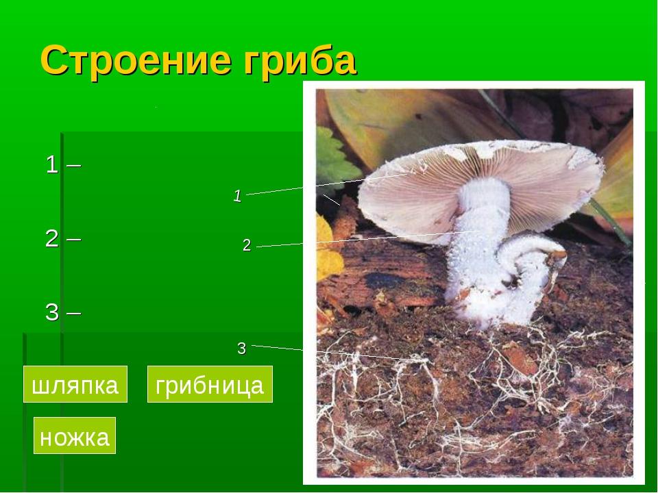 Строение гриба 1 – 2 – 3 – 1 2 3 грибница ножка шляпка