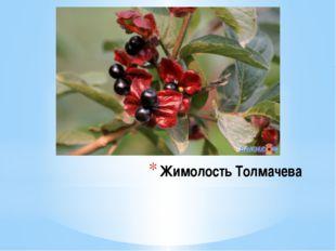 Жимолость Толмачева