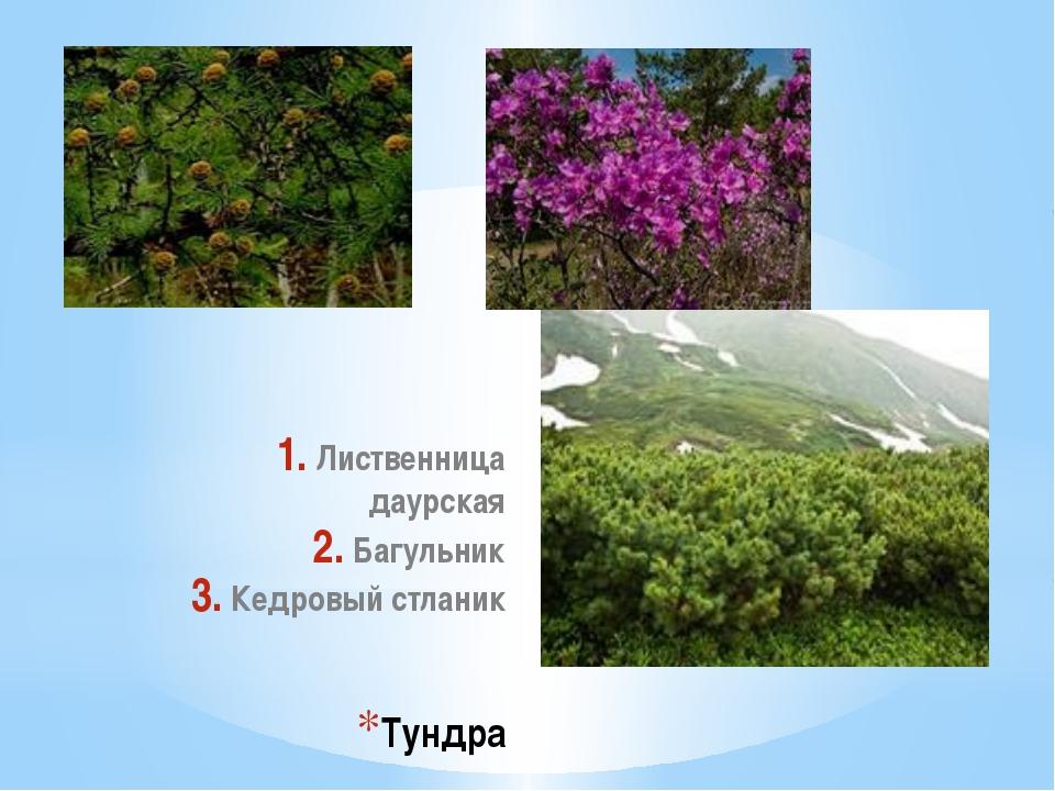 Тундра Лиственница даурская Багульник Кедровый стланик