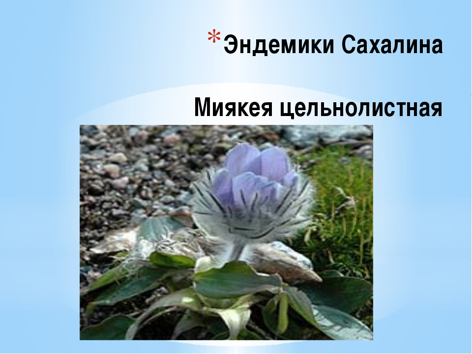 Эндемики Сахалина Миякея цельнолистная