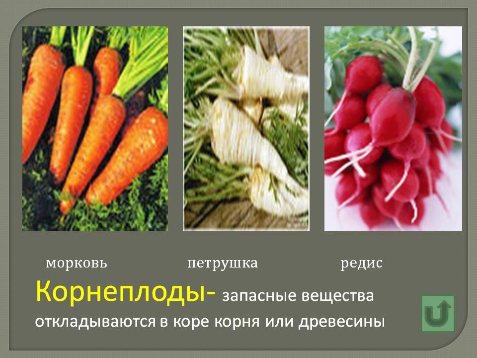 Корнеплоды- запасные вещества откладываются в коре корня или…