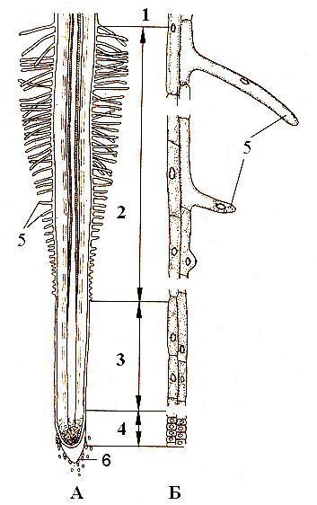 Анатомическое строение корня