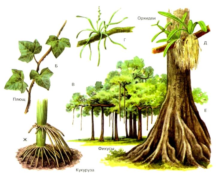 Рис. Виды корней. 1 главный корень2 боковой корень3 прид…