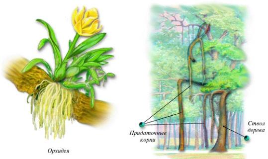 Видоизменения корней - Картинка 5418/24