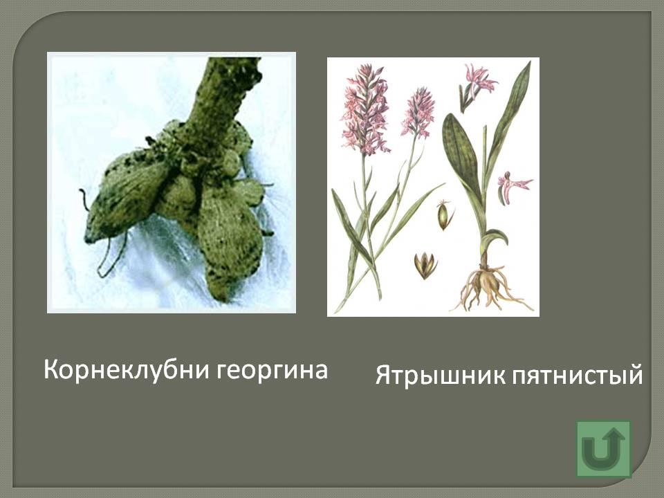 Корнеклубни георгина - Картинка 5420/17