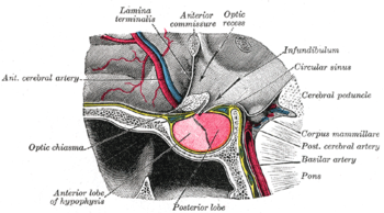 https://upload.wikimedia.org/wikipedia/commons/thumb/0/09/Grays_pituitary.png/350px-Grays_pituitary.png