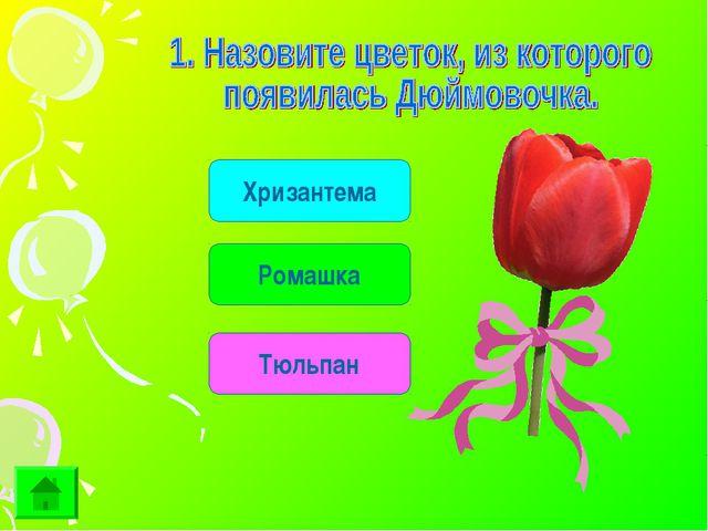 Хризантема Ромашка Тюльпан