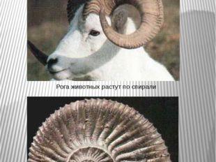 Золотая спираль Рога животных растут по спирали Спиралевидную форму имеют бол