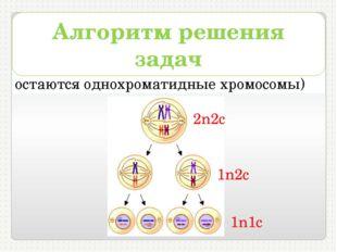 5) в телофазеII – 1n1с (в клетках остаются однохроматидные хромосомы) Алгорит