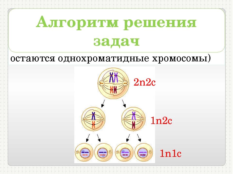 5) в телофазеII – 1n1с (в клетках остаются однохроматидные хромосомы) Алгорит...