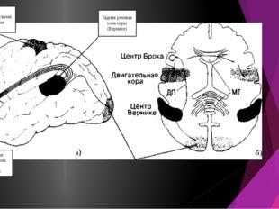 Задняя речевая зона коры (Вернике) Передняя речевая зона коры (Брока) Дополни