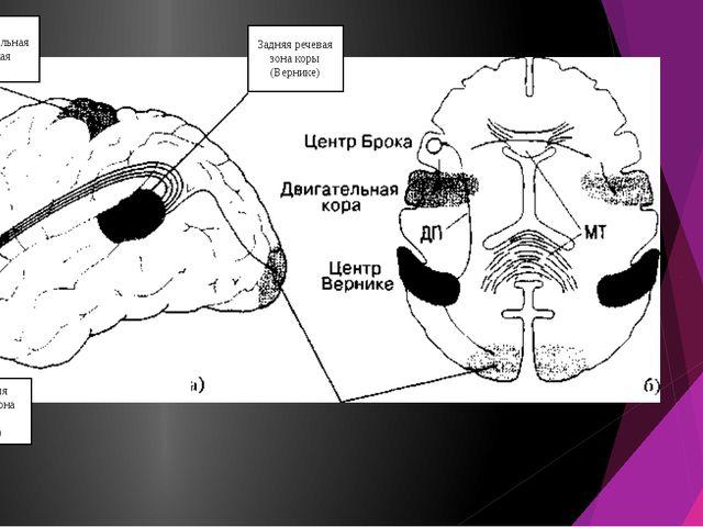 Задняя речевая зона коры (Вернике) Передняя речевая зона коры (Брока) Дополни...