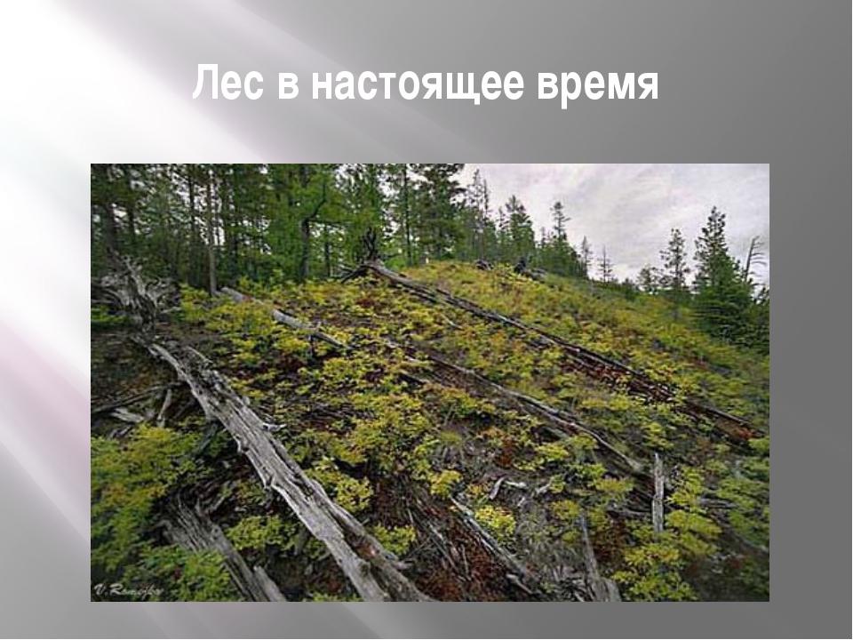 Лес в настоящее время