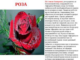 По словам Анакреона, роза родилась из белоснежной пены, покрывшей тело Афрод