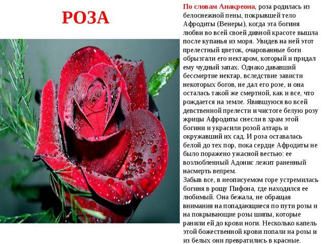 По словам Анакреона, роза родилась из белоснежной пены, покрывшей тело Афрод...