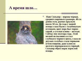 А время шло… Наш Сильвер – ворона черная, среднего вороньего размера. 40 см д