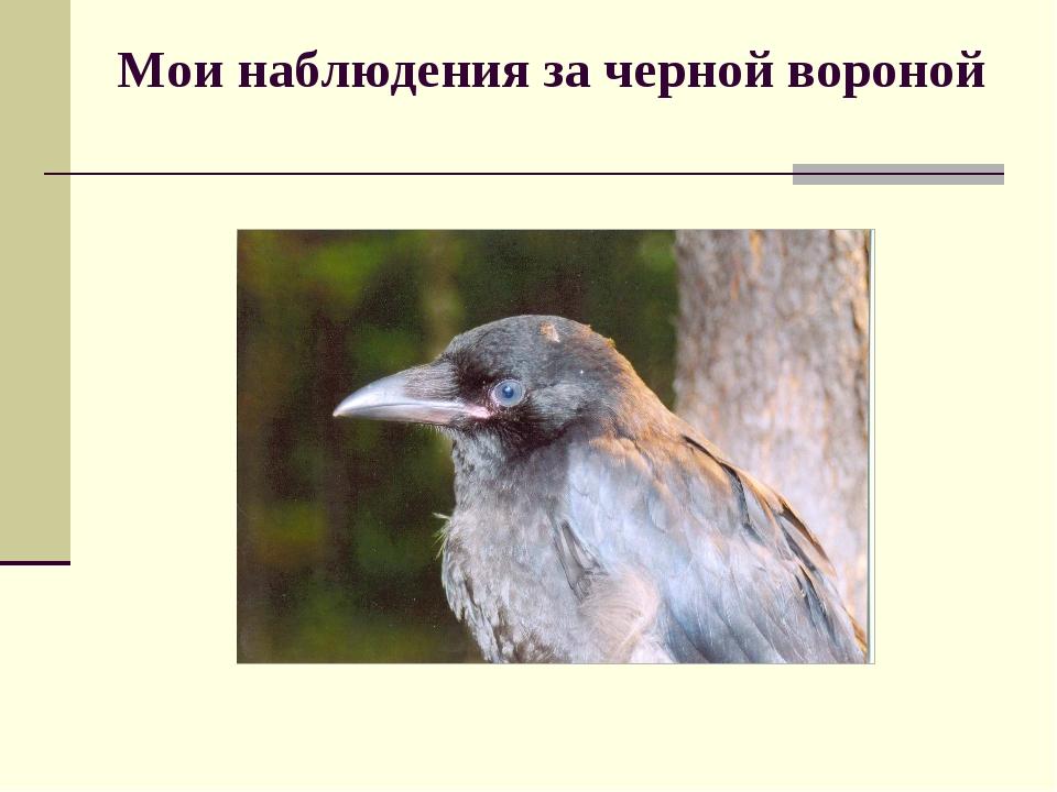 Мои наблюдения за черной вороной