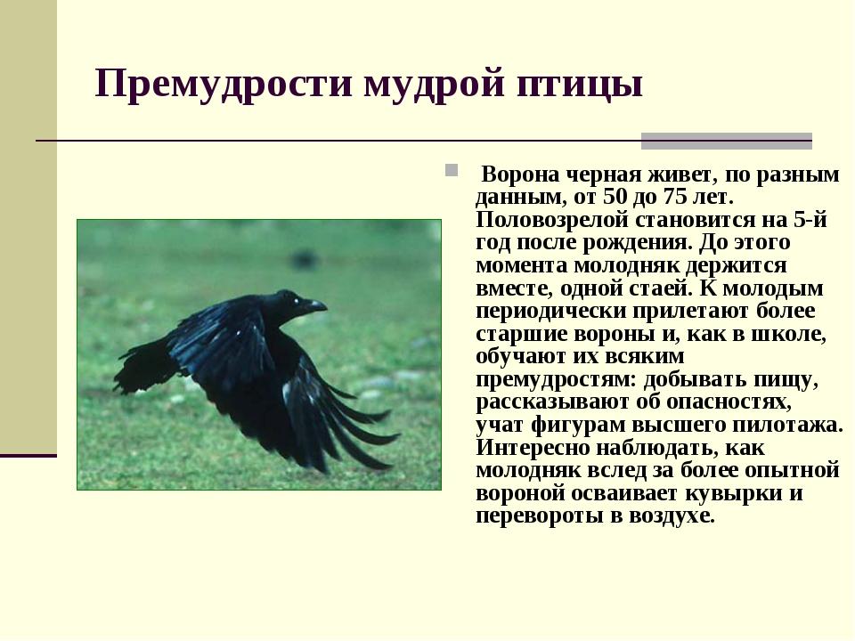 Премудрости мудрой птицы Ворона черная живет, по разным данным, от 50 до 75 л...