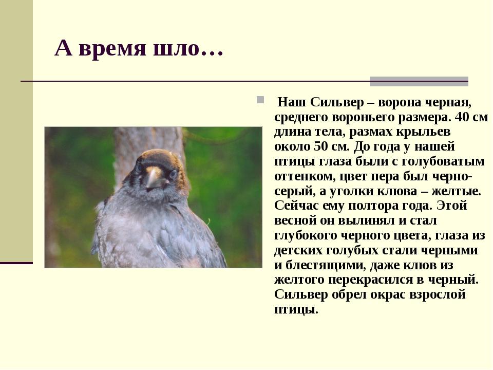 А время шло… Наш Сильвер – ворона черная, среднего вороньего размера. 40 см д...